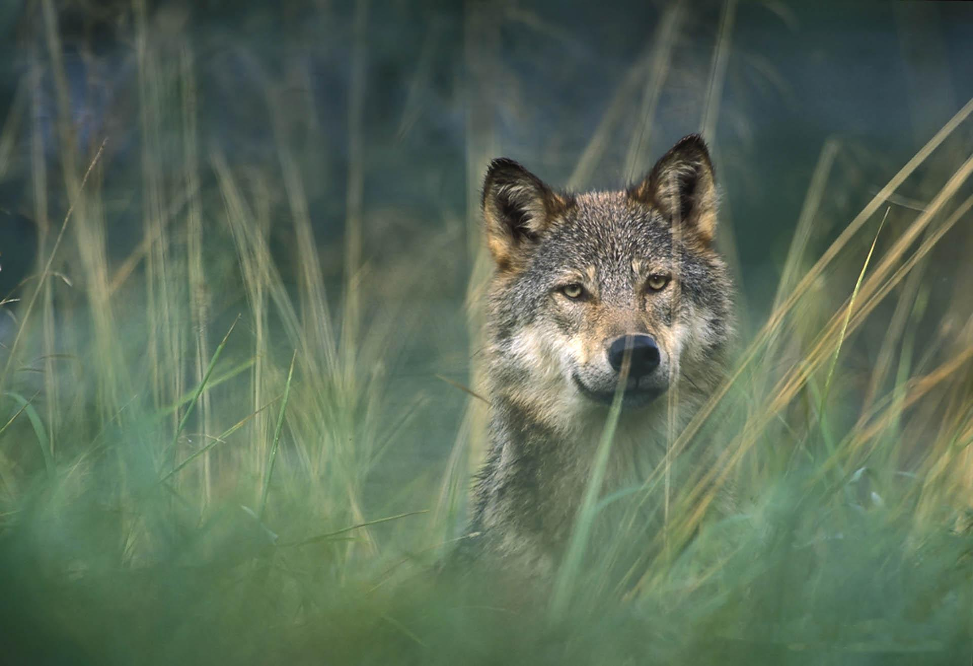 Gray Wolf Wallpapers 1920x1313