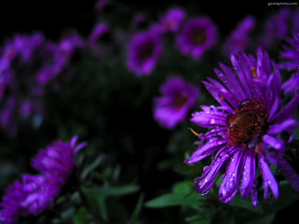 1024x768 Purple flowers desktop PC and Mac wallpaper 1024x768