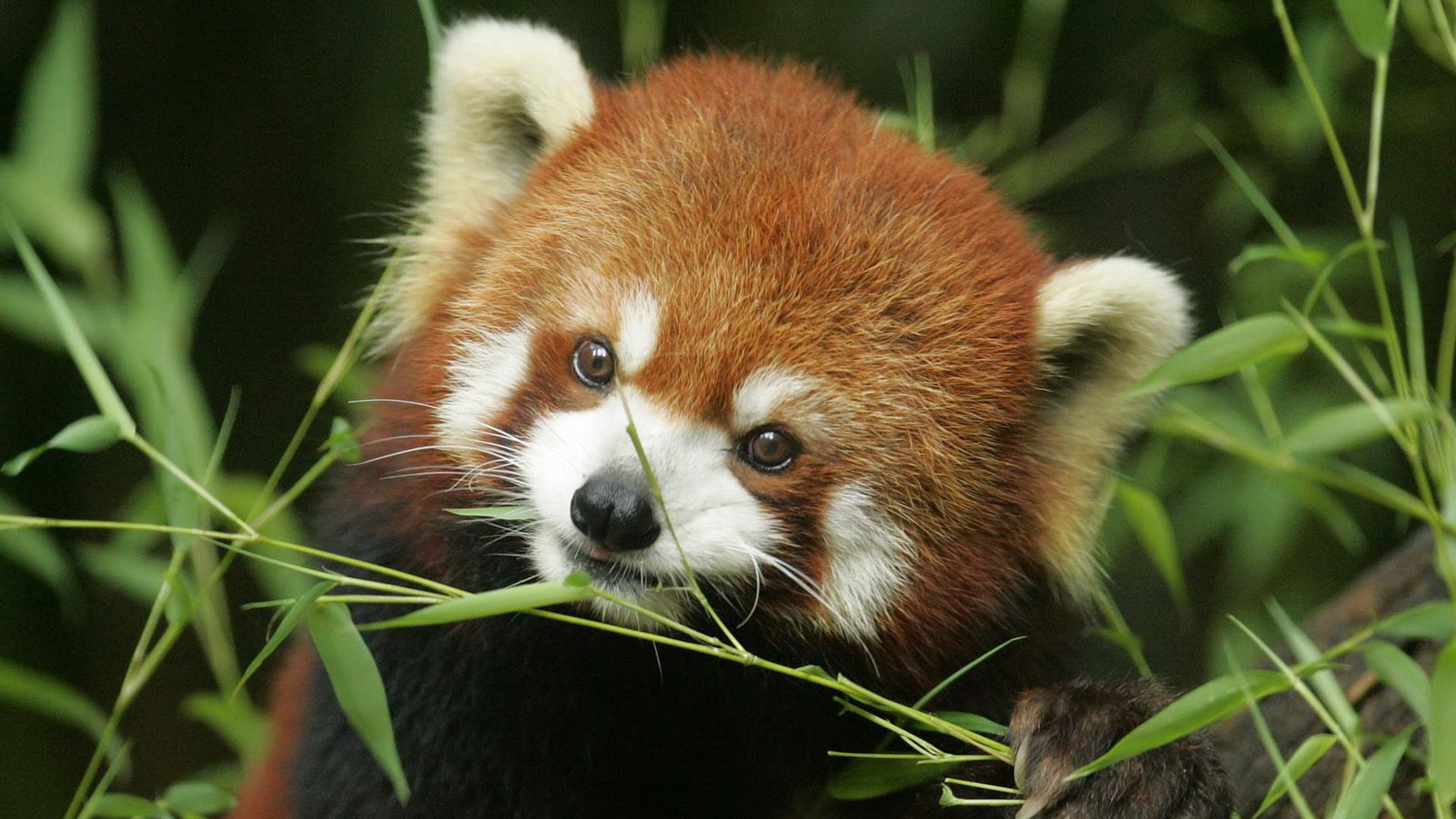 Wallpaper red panda red panda funny cute muzzle desktop wallpaper 1920x1080