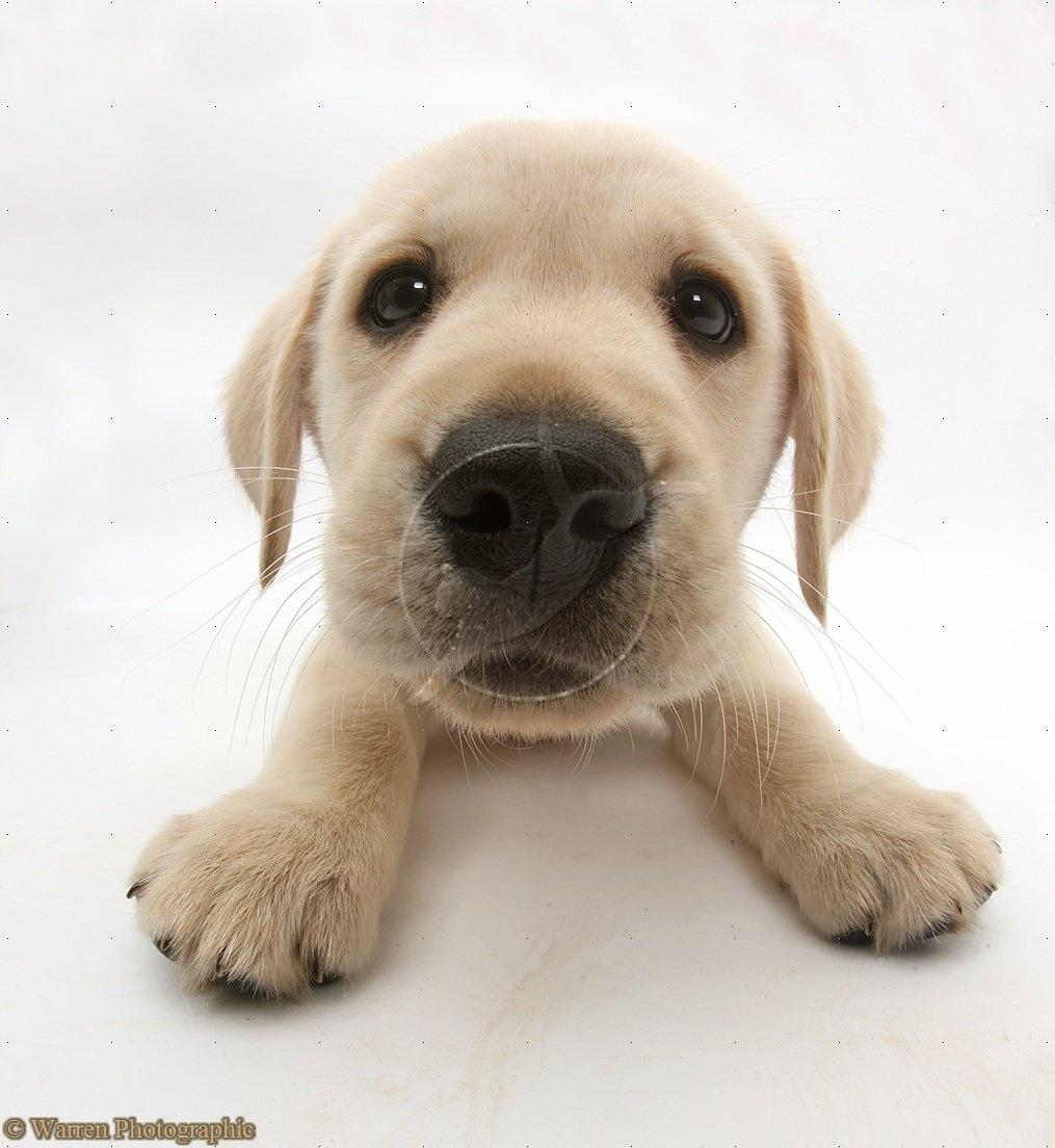 Yellow Labrador Retriever Puppy White Background Photo Shared By 1015x1104