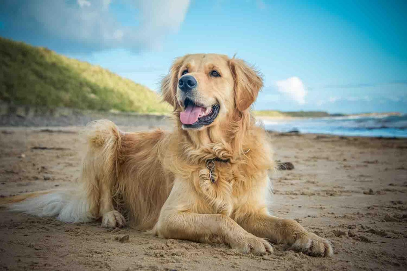 Free Download Golden Retriever Wallpapers Android Apps On