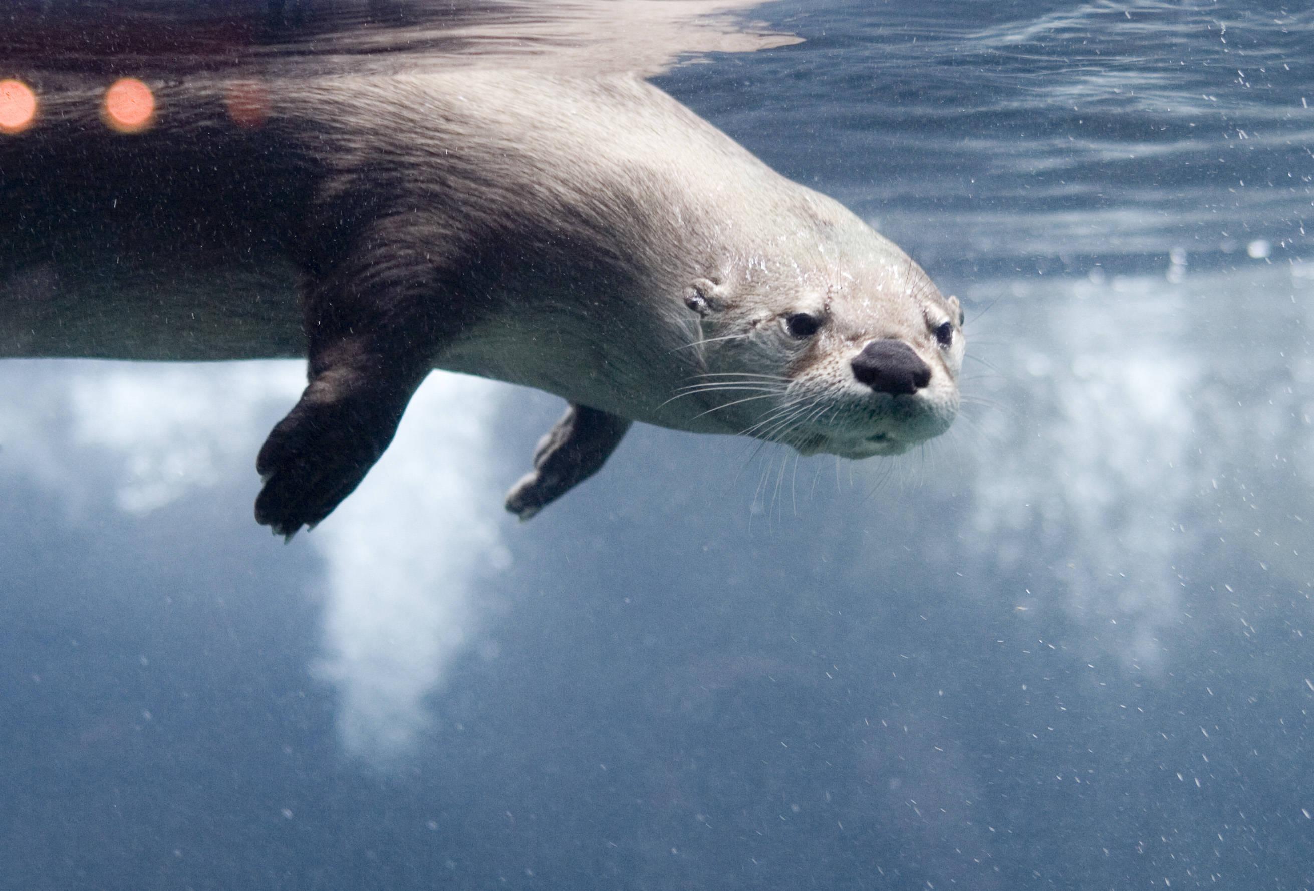 River Otter Wallpaper ...