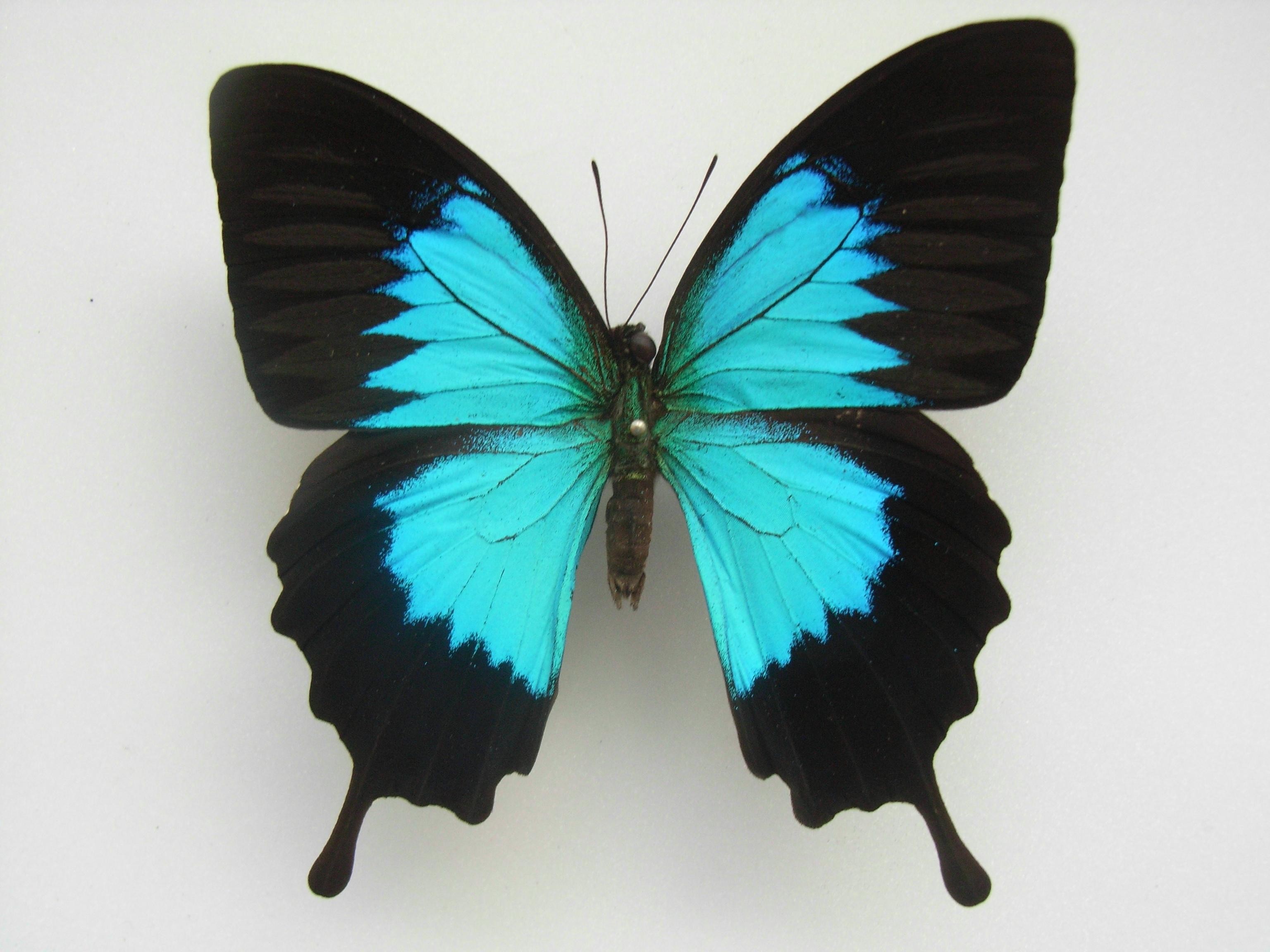 Blue Swallowtail Butterfly HD Wallpaper Animals Wallpapers 3072x2304