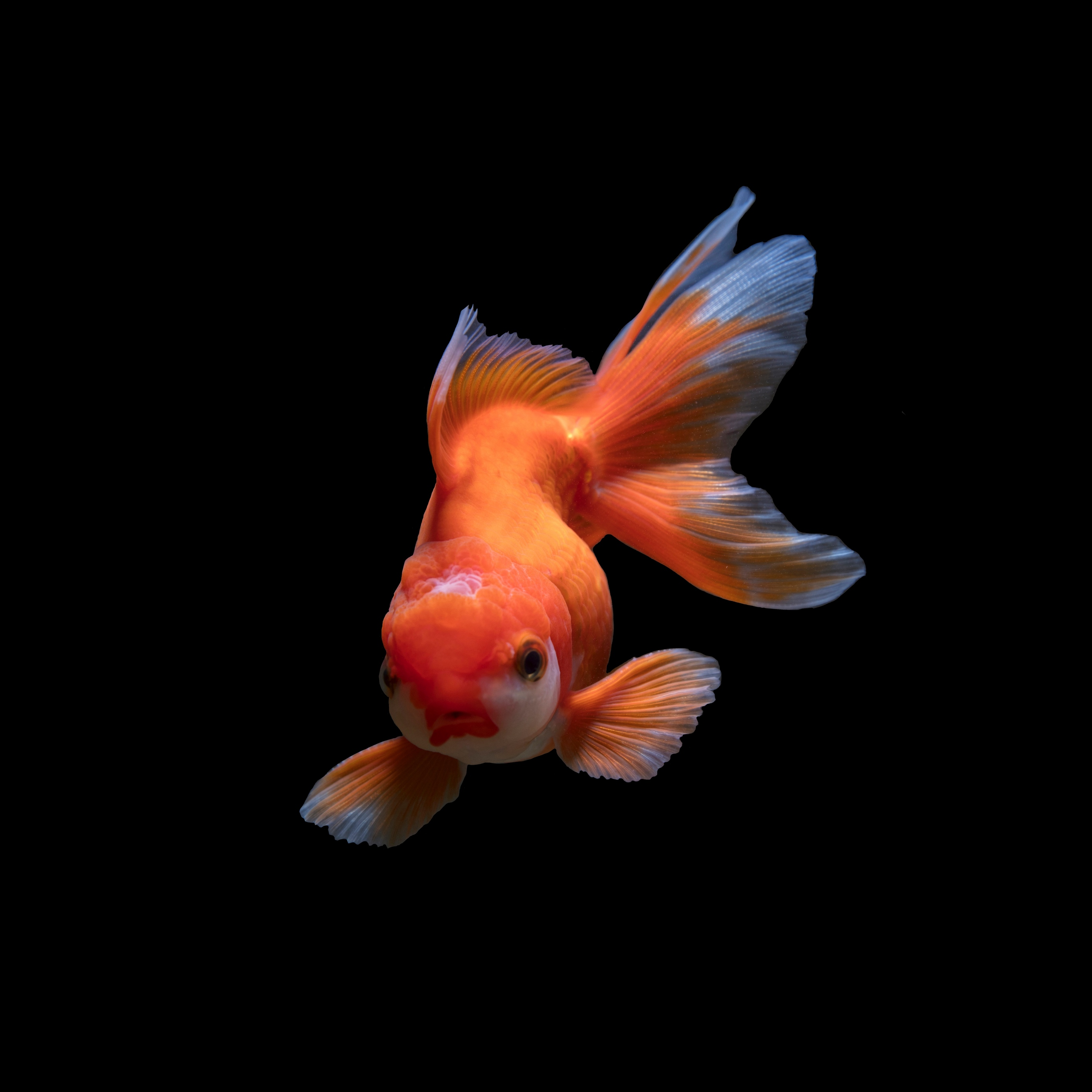 Download wallpaper 2780x2780 fish underwater world swim orange 2780x2780