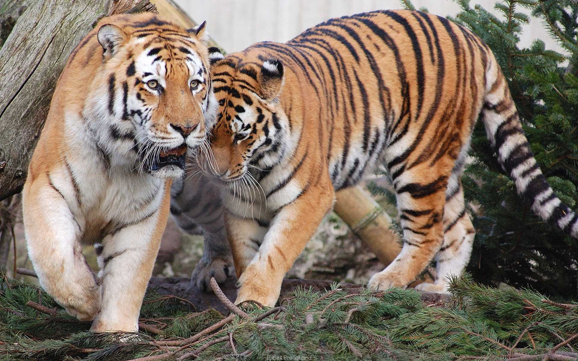 Tiger Pair Wallpapers HD Wallpapers 1920x1200