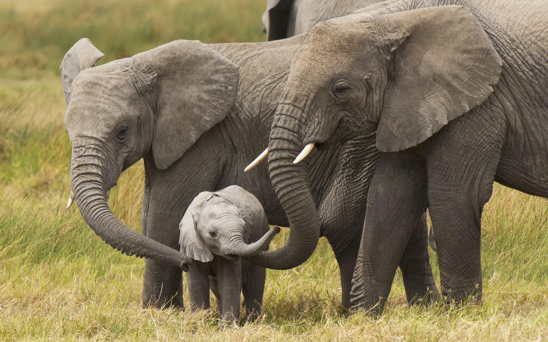 Baby Elephants Playing Wallpapers 44 Baby Elephants 1920x1200