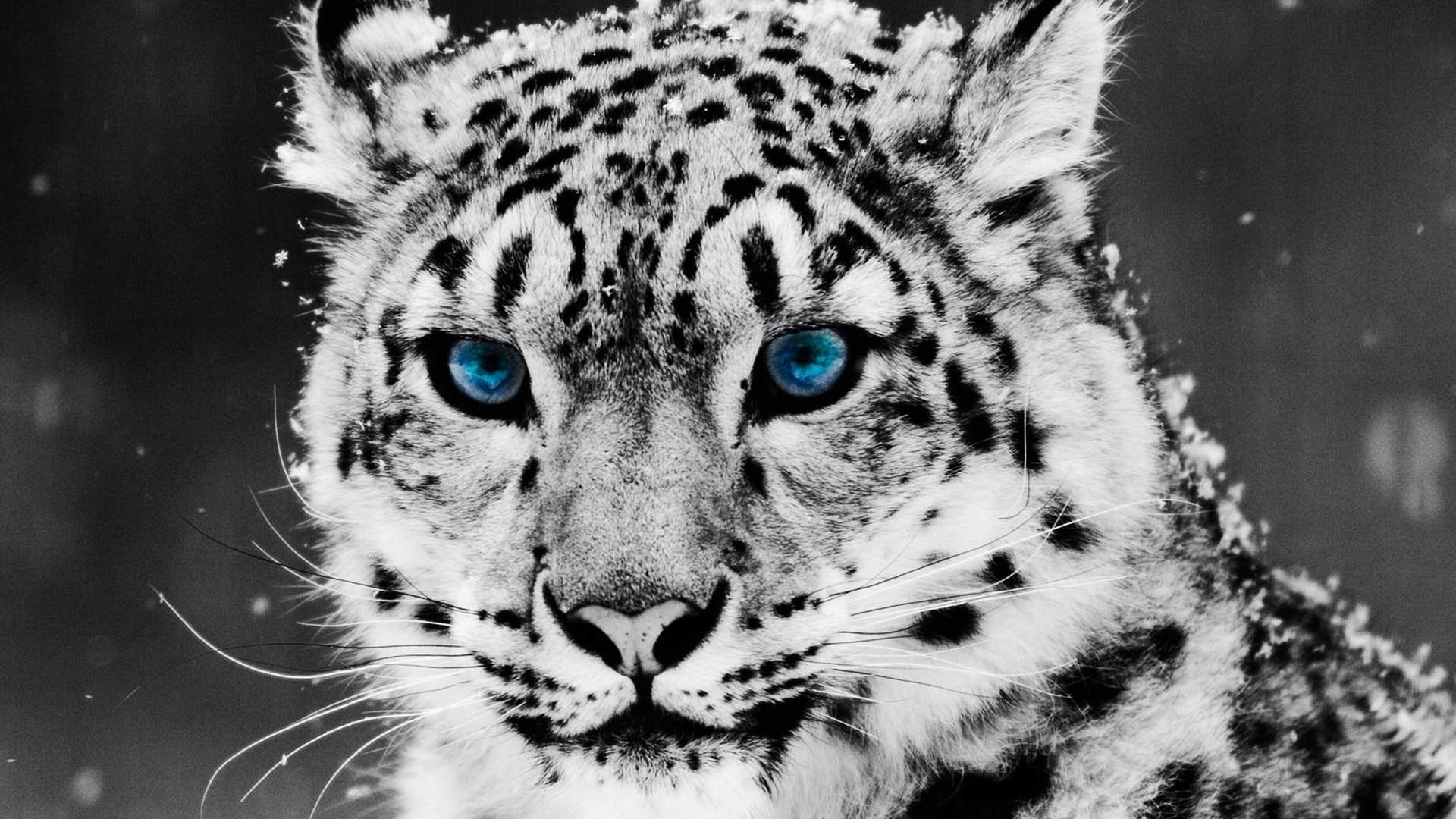 Snow Leopard Wallpaper High Quality WallpapersWallpaper Desktop 1920x1080