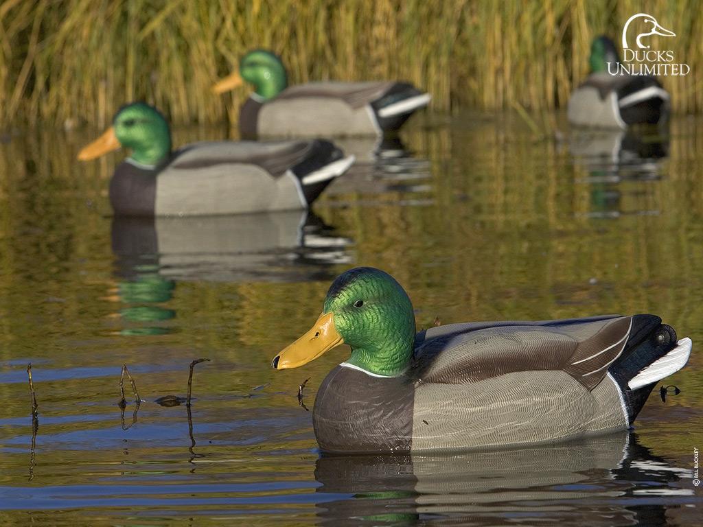 ducks unlimited wallpaper wallpapersskin 1024x768