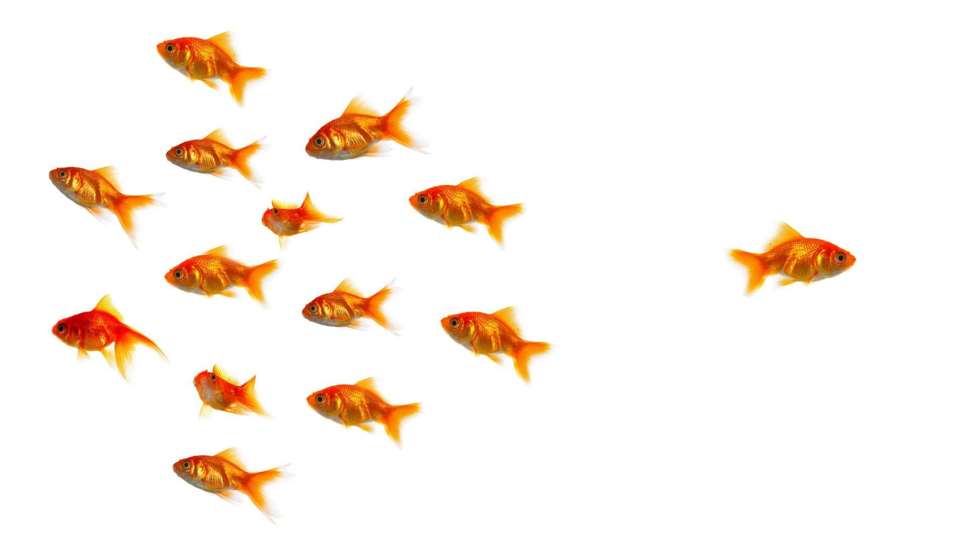 Goldfish Different Wallpaper 1920x1080 Goldfish Different 1920x1080