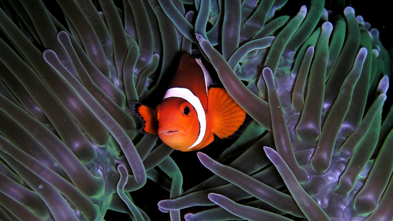 Clown Fish Anemon Wallpaper Itokaml   1366x768 iWallHD   Wallpaper HD 1366x768