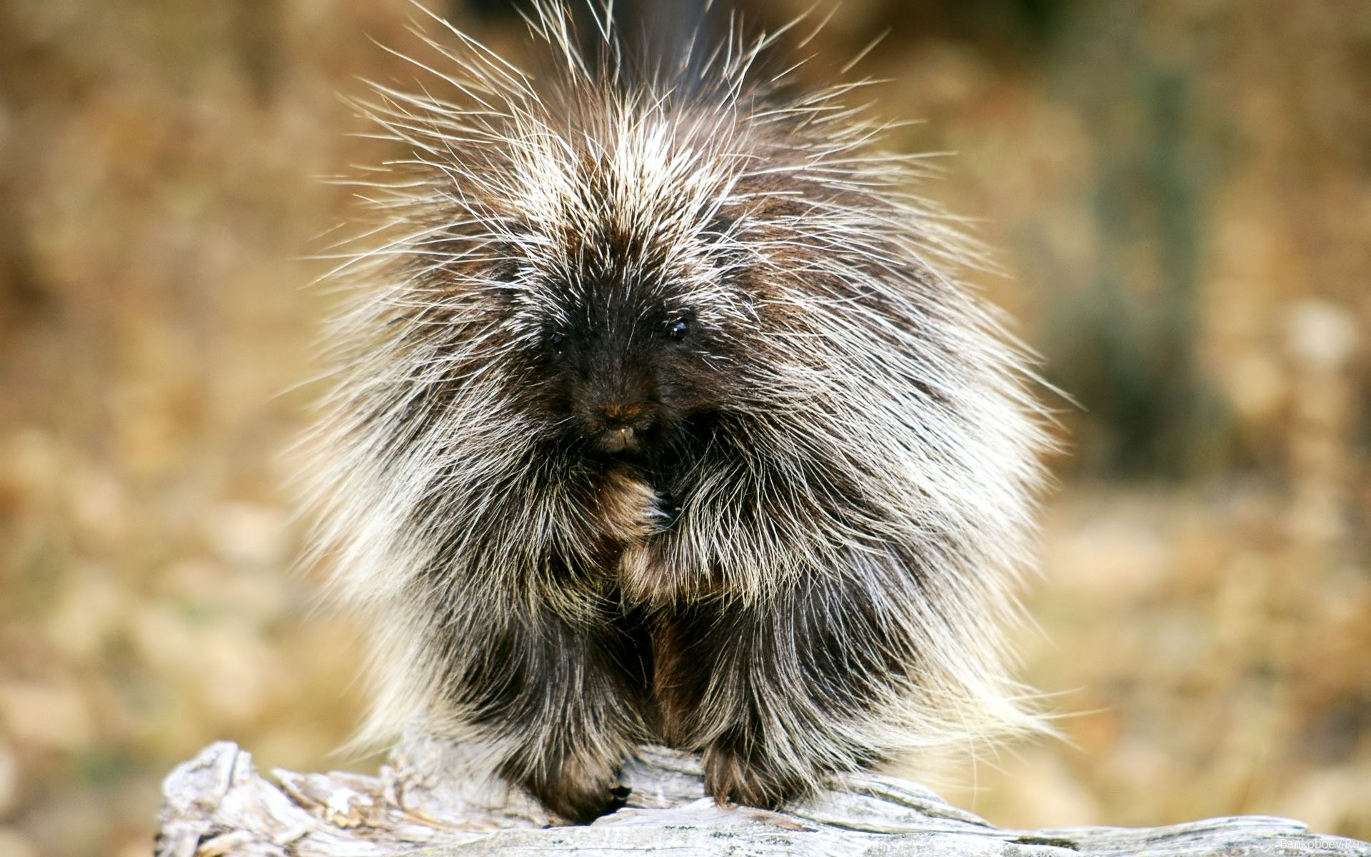 Baby Porcupine Exotic Animals hd Wallpaper High Quality 1920x1200