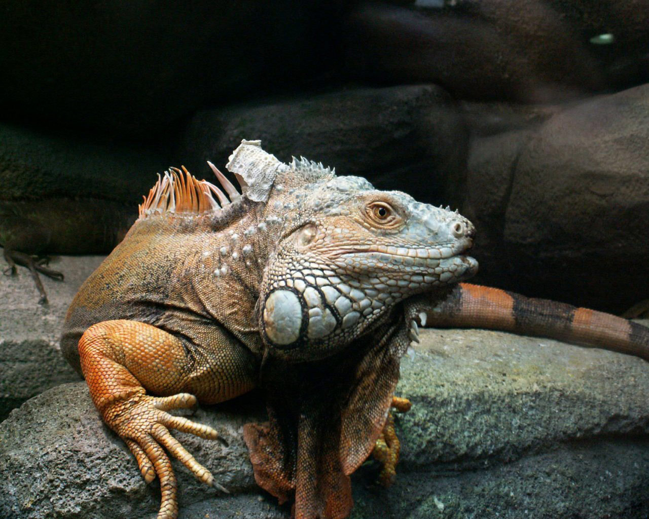 Iguanas images Iguana HD wallpaper and background photos 28691965 1280x1024