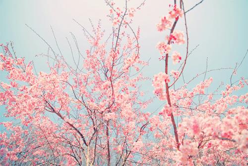 cherry blossom tree on Tumblr 500x334