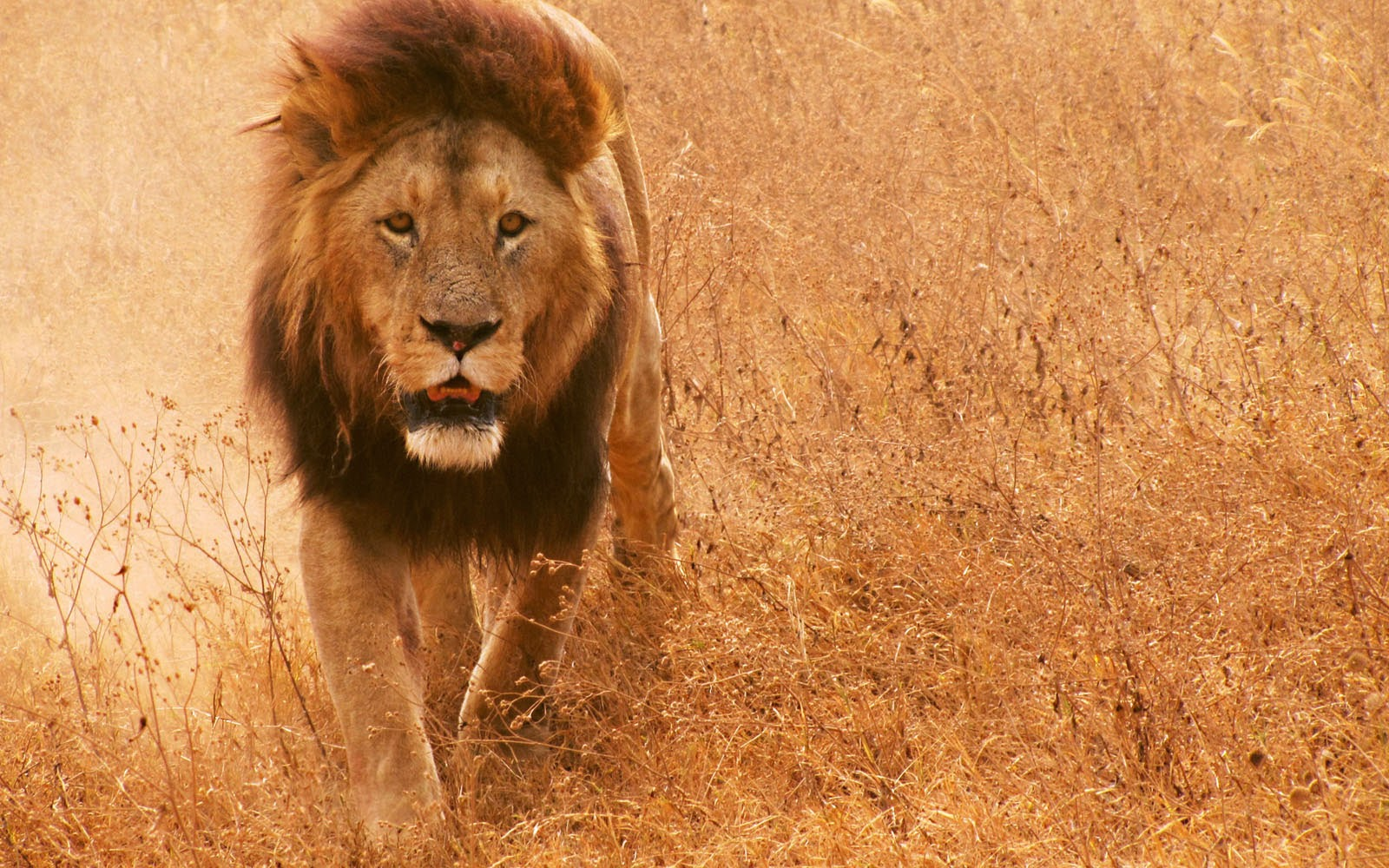 wallpapers African Lion Wallpapers 1600x1000
