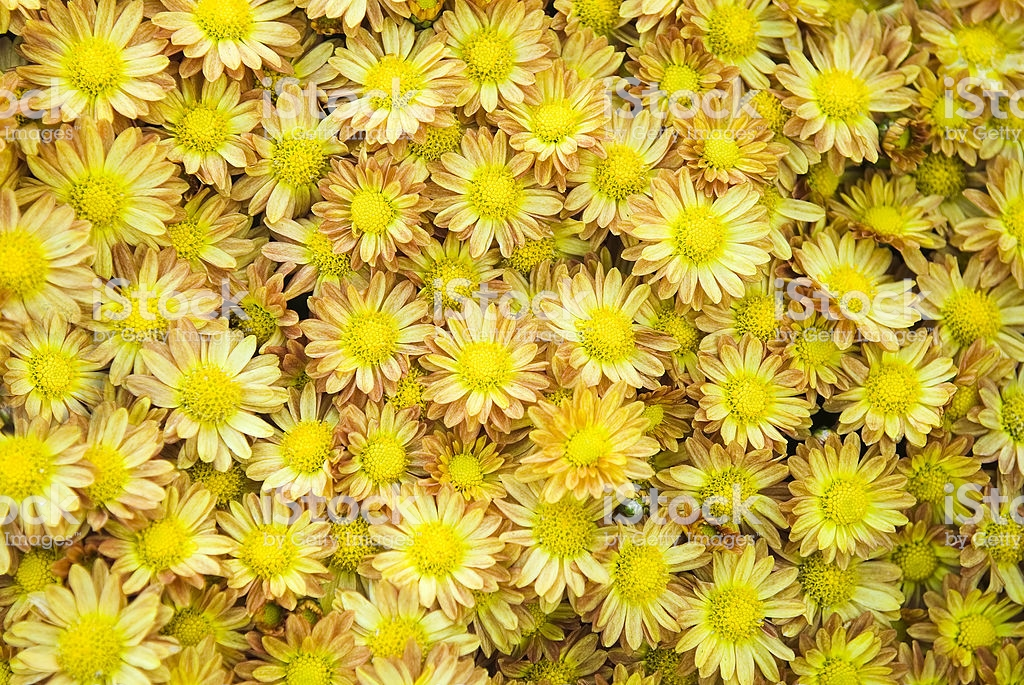 Garden Mums Background Stock Photo More Pictures of Autumn   iStock 1024x685