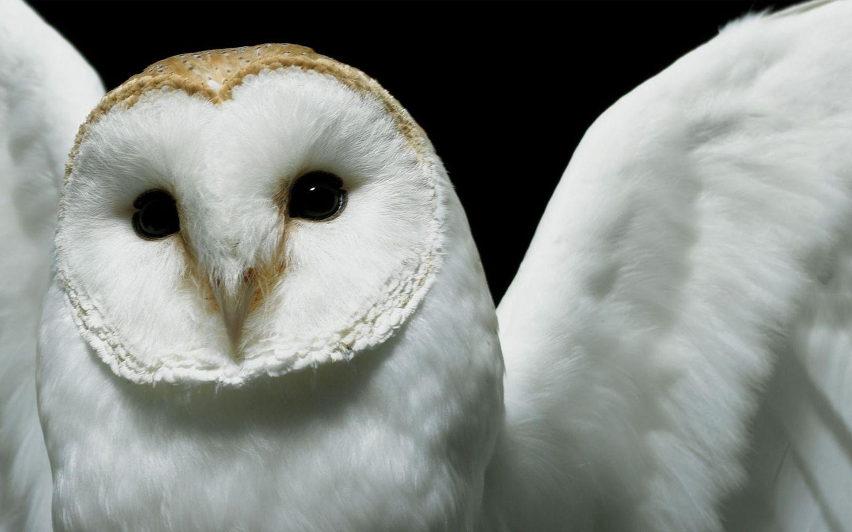 snowy owl wallpaper wallpapersafari