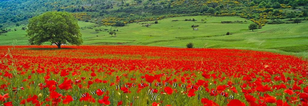 Single Tree Poppy Field Apulia Italy Photo Information 1024x352