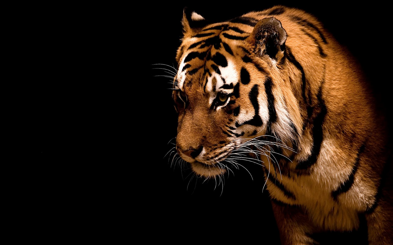 Amazing Wallpapers Of Tigers Unique Wallpaper 1600x1000