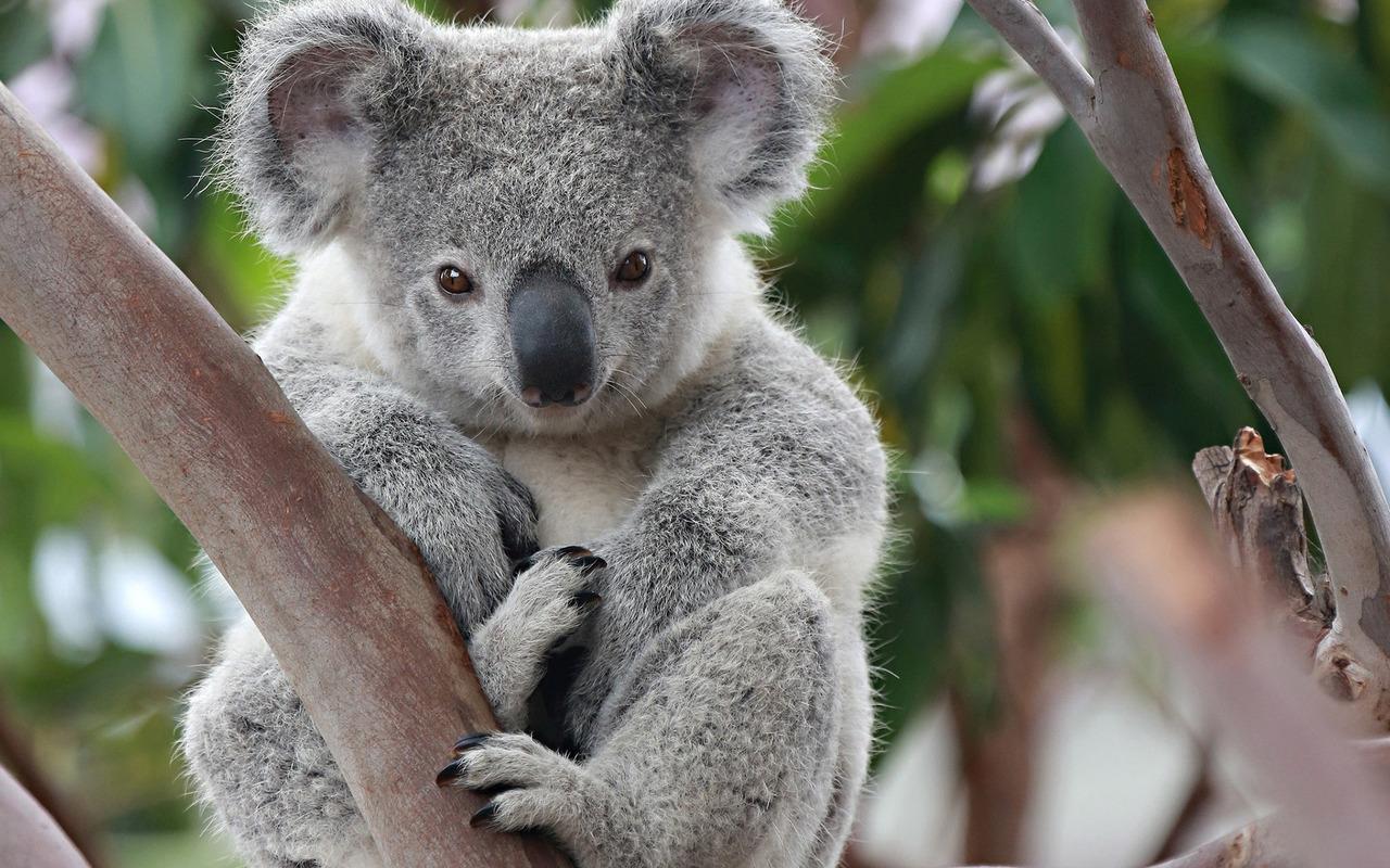 Koala wallpaper #26233