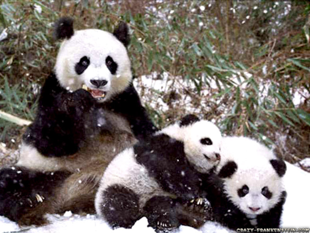 Panda Bear Wallpapers Panda Bear Wallpapers 46 1024x768