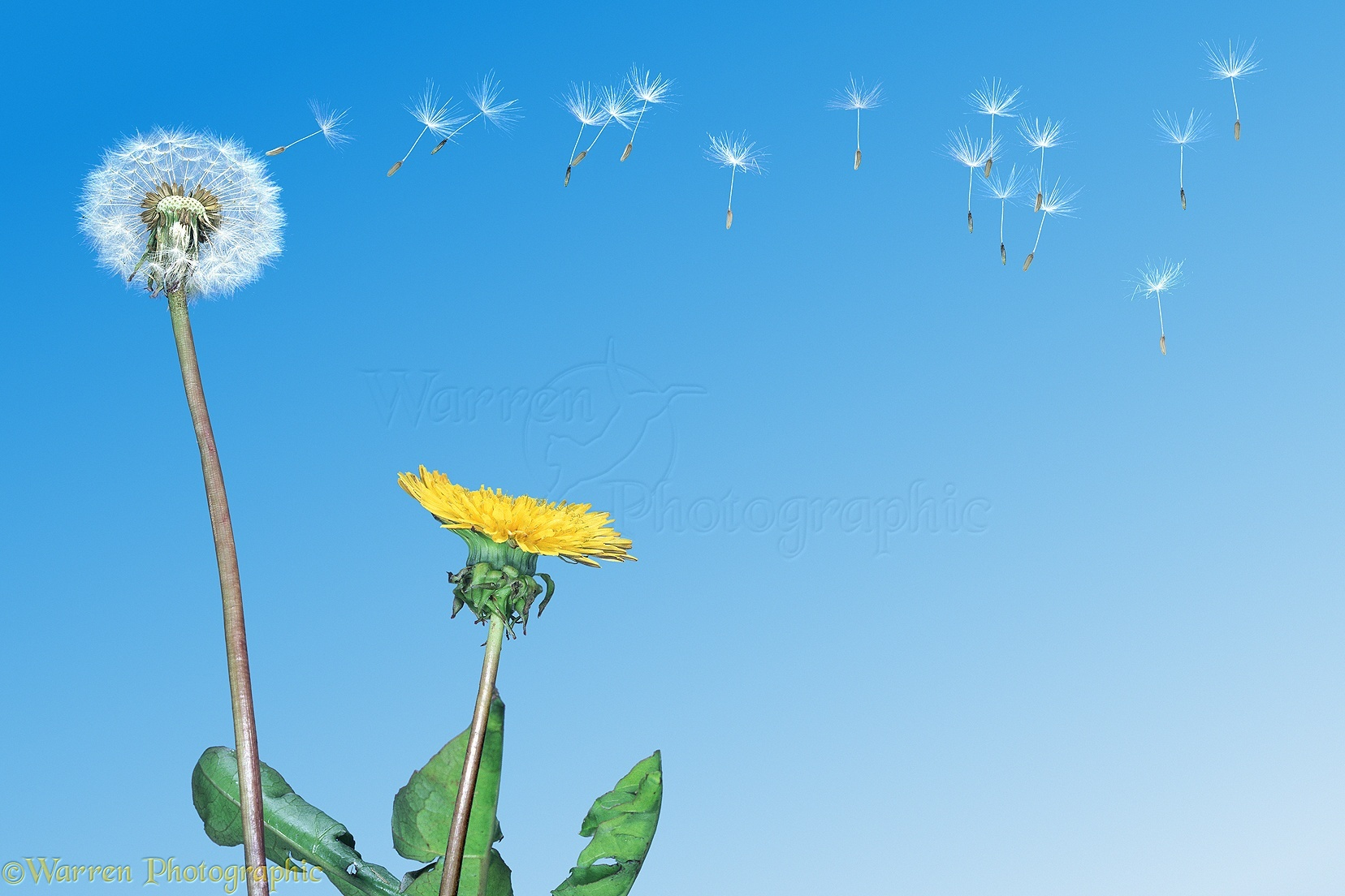 Dandelion Blowing 1656x1104
