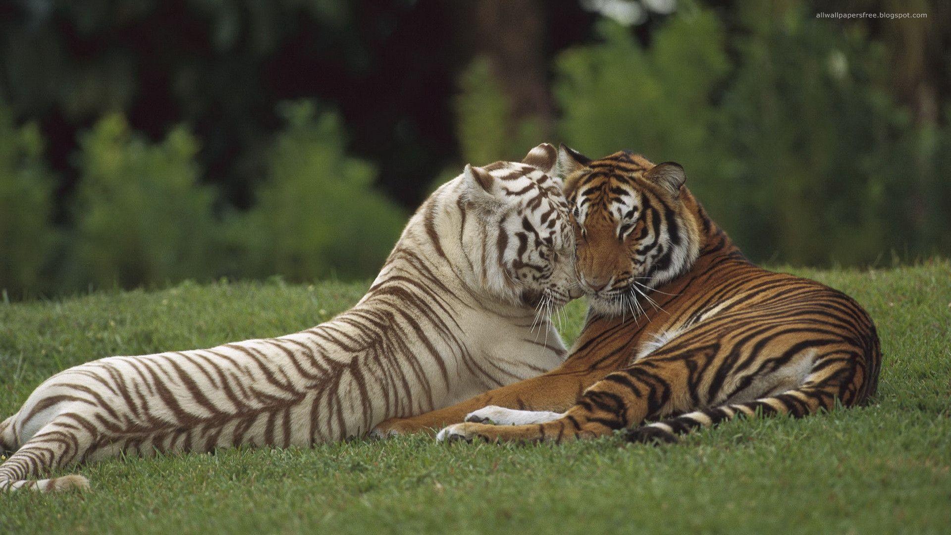 Interracial lovin [SFW] Our Beautiful World Tiger wallpaper 1920x1080