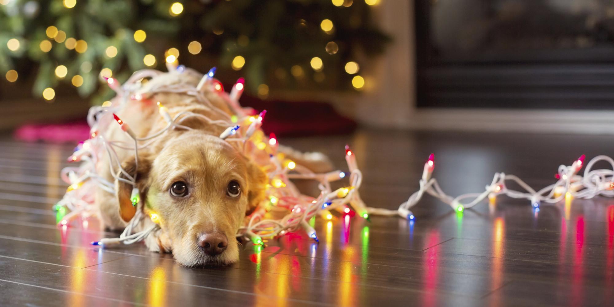 Christmas dog   Christmas Photo 40835700 2000x1000