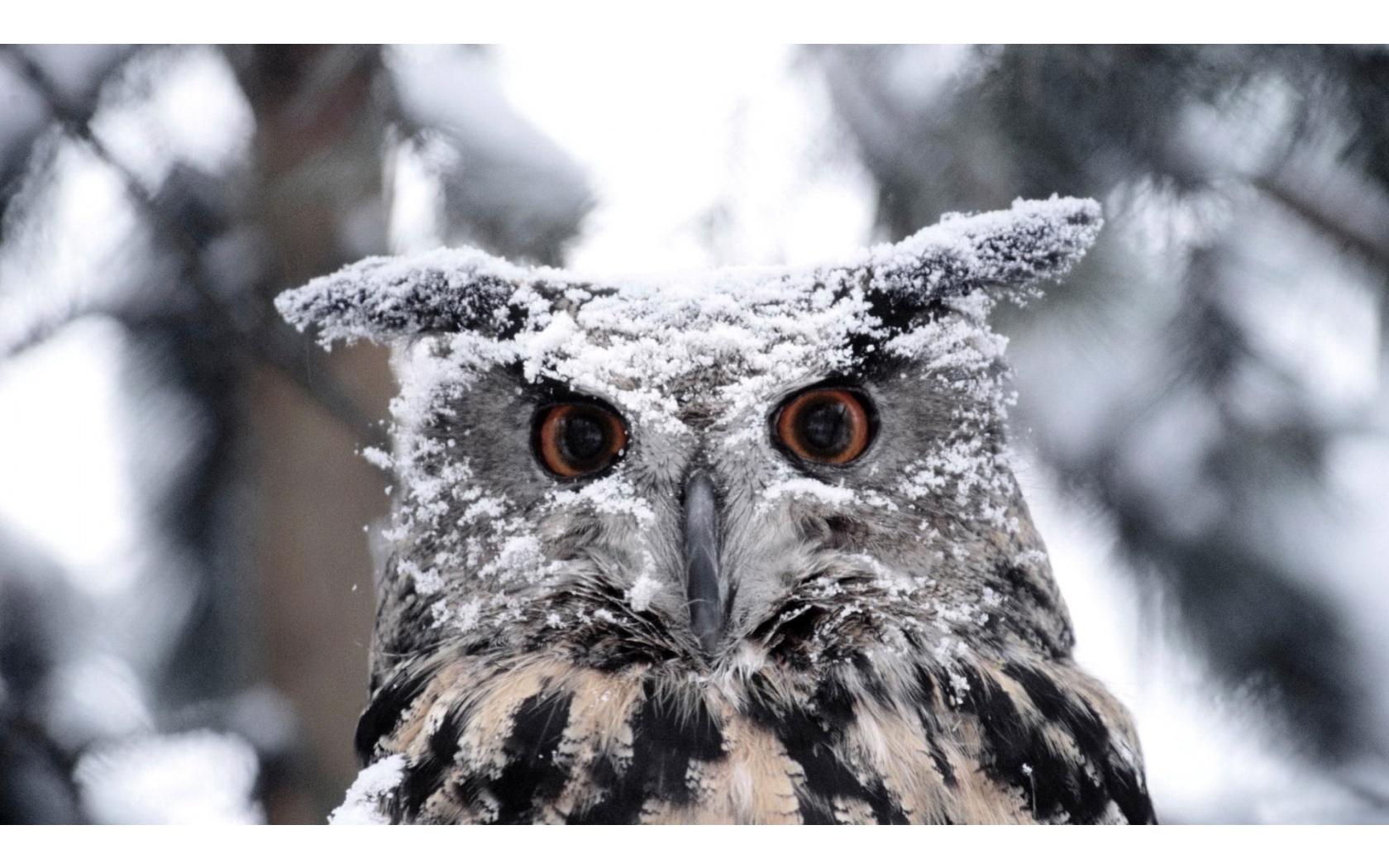 Snowy Owl   1680x1050   509235 1680x1050