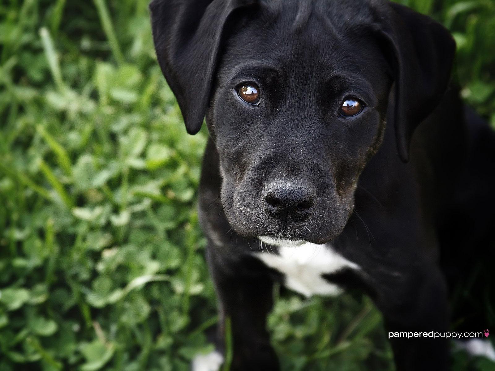 Black Labrador Retriever puppy   Dogs Wallpaper 13518444 1600x1200
