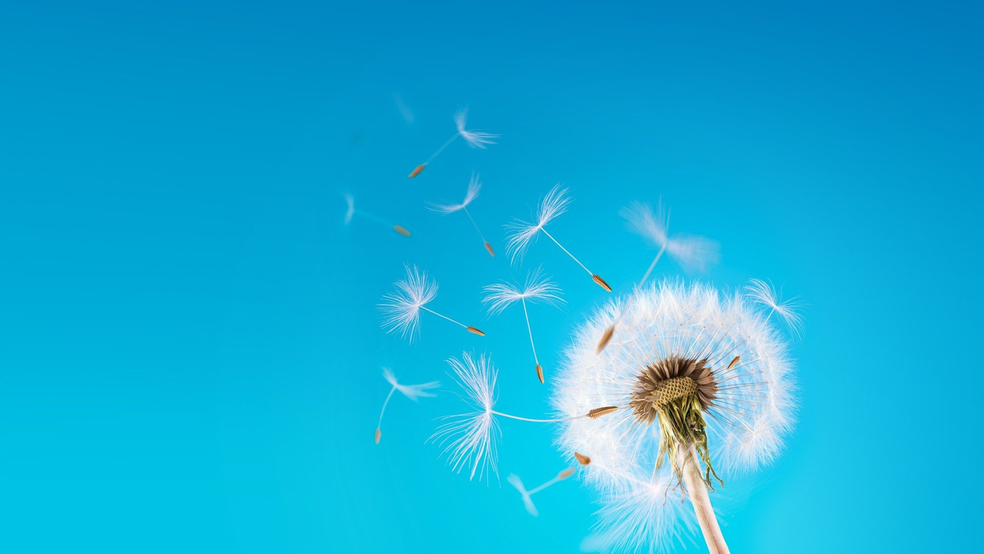 Download Dandelion Background 1920x1080