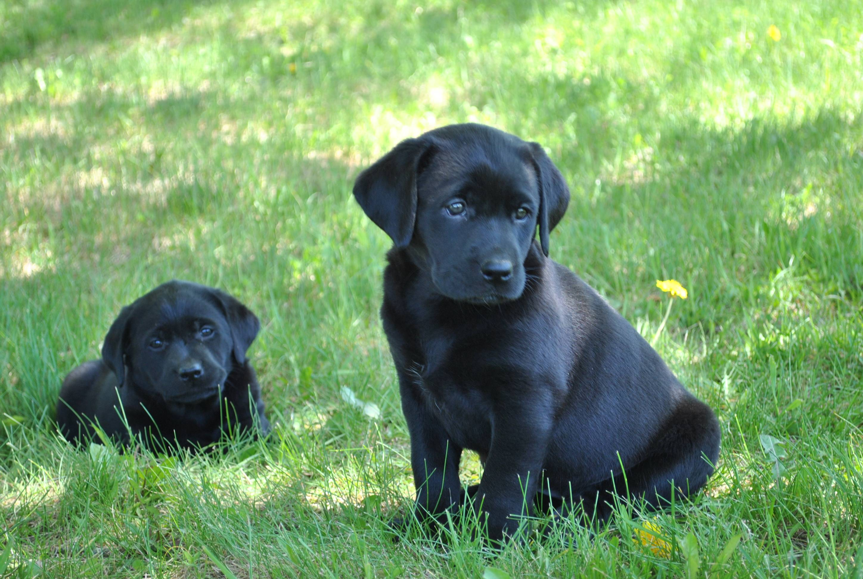 Black Lab Puppy Wallpapers 2896x1944