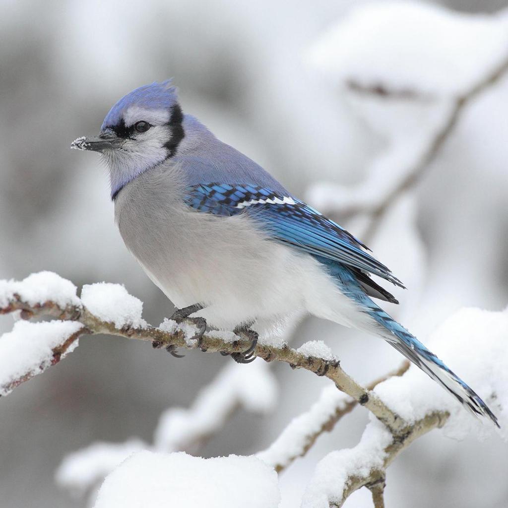 Blue bird wallpaper Blue bird wallpaper ipadwallpapershopcom 1024x1024
