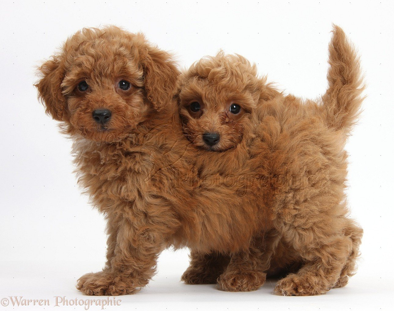 Toy Poodle Puppies Red toy poodle puppies 1288x1017
