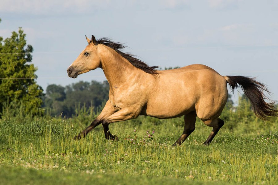 Quarter Horse Wallpaper for Computer - WallpaperSafari Palomino Horse Running