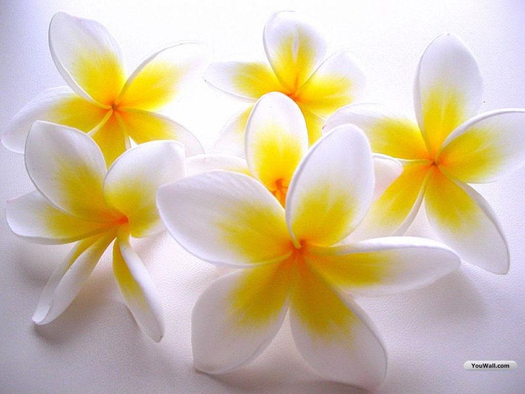 White carnation wallpaper wallpapersafari beautyful flowers white flower wallpapers 1024x768 mightylinksfo