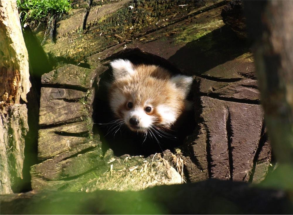 cute red pandas wallpapers 1000x737
