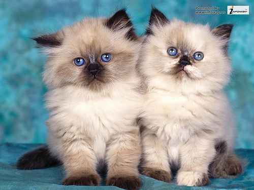 Cute wallpapers cute kittens wallpaper Flickr   Photo Sharing 500x375