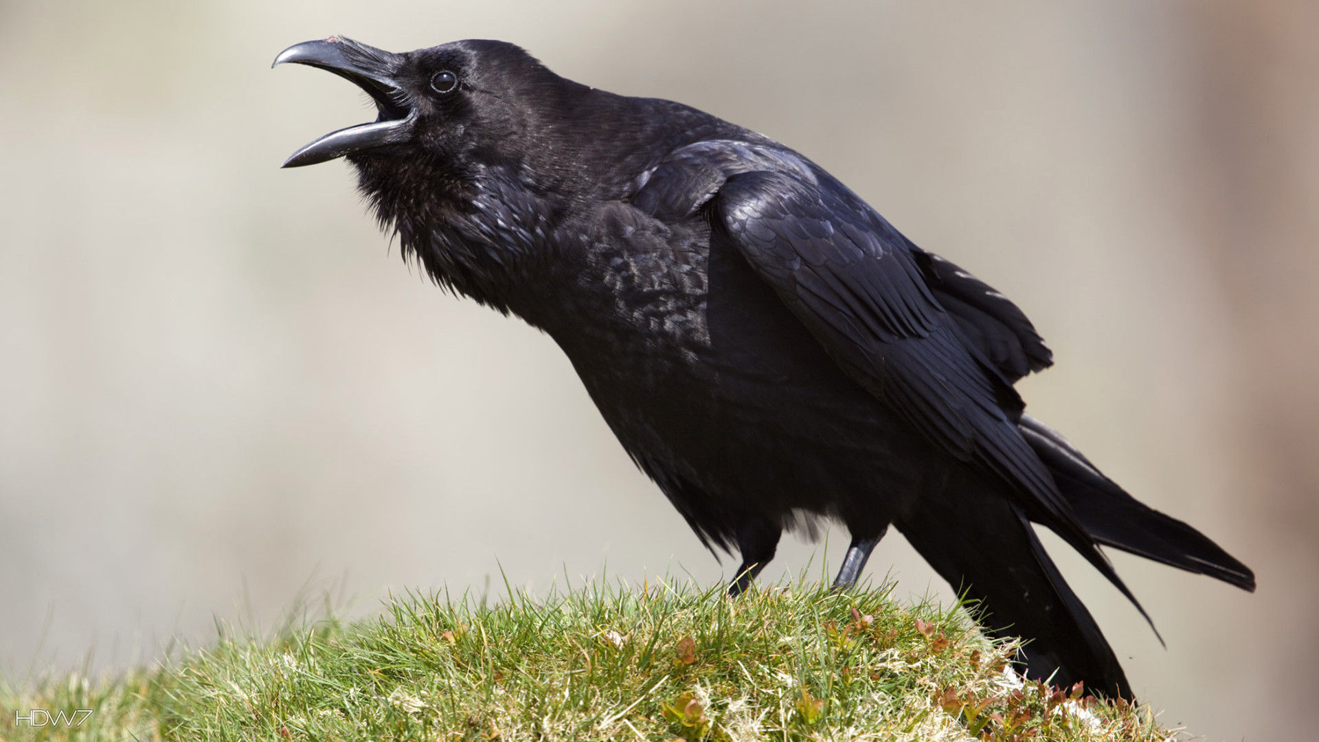 wallpaper name raven talking bird jpg wallpaper added may 24 2015 1920x1080