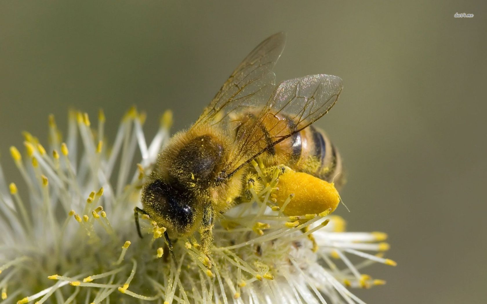 Honey Bee wallpaper   Animal wallpapers   7071 1680x1050