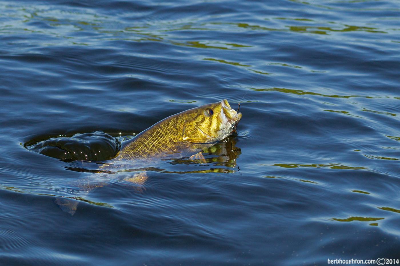 Smallmouth Bass Jumping Amazing Wallpapers 1400x933