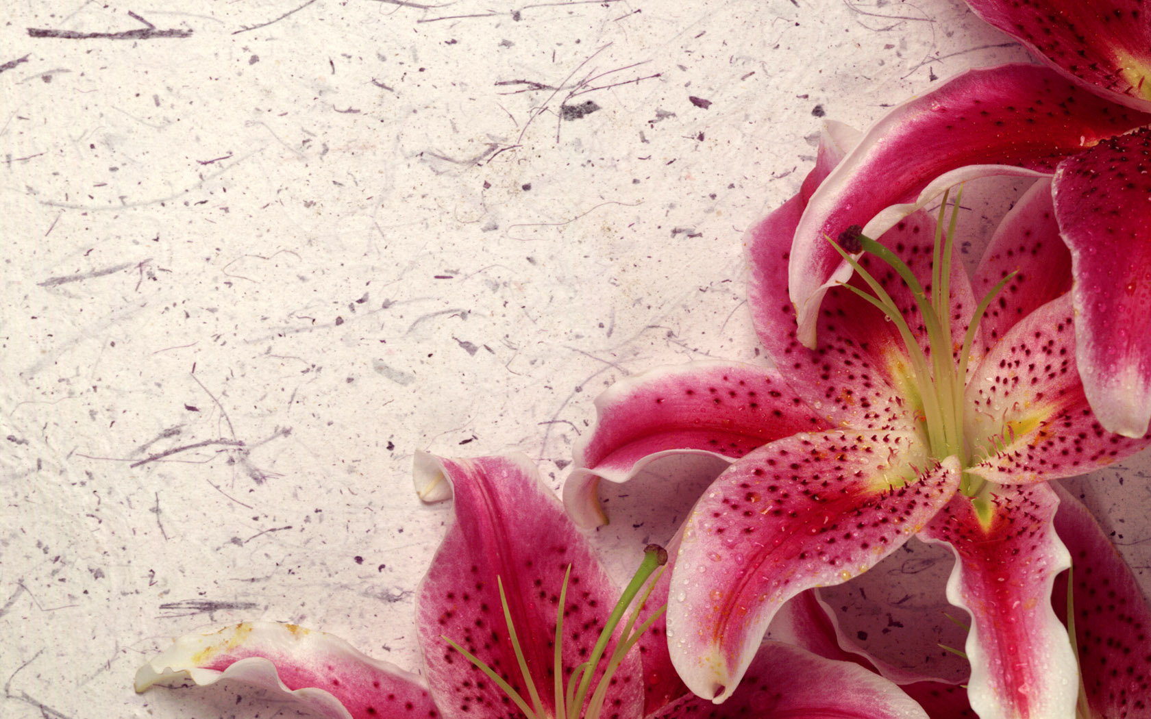 Decor Lily Wallpapers HD Wallpapers 1680x1050
