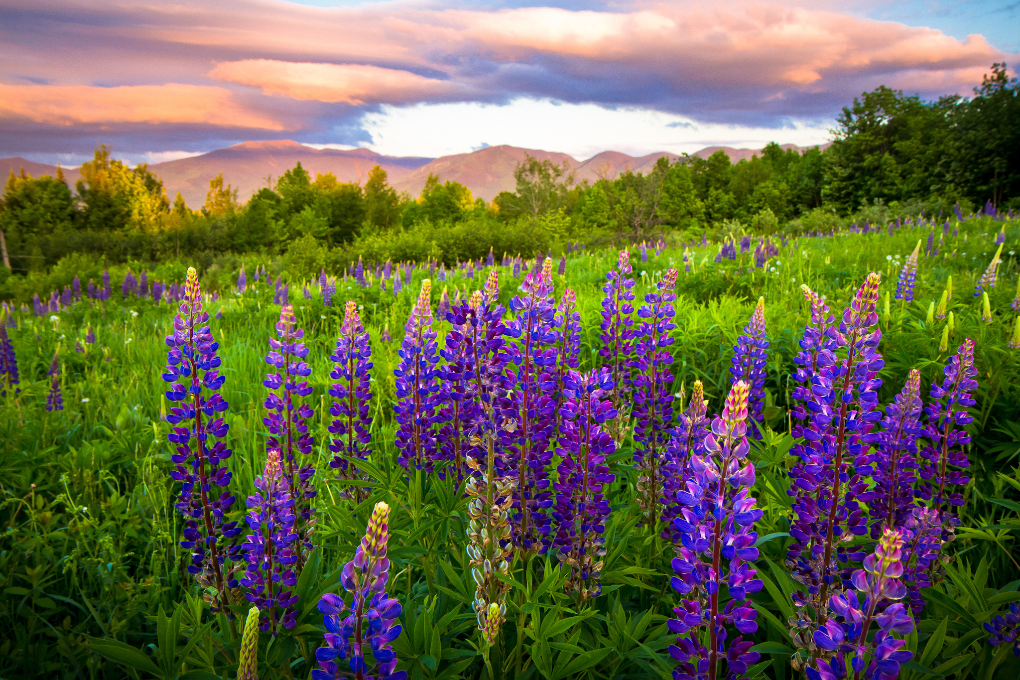 New Hampshire lupine meadow wallpaper 2048x1365 153332 2048x1365