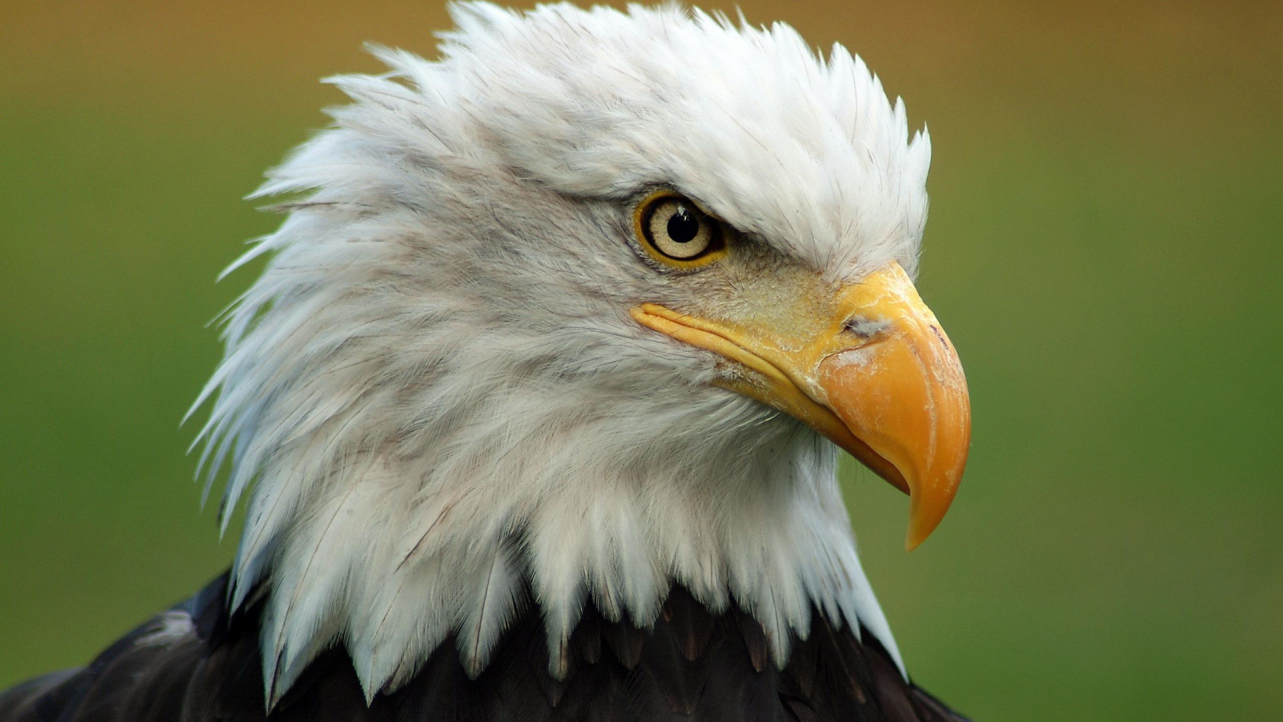 eagle flag wallpaper american portrait 2560x1440 2560x1440