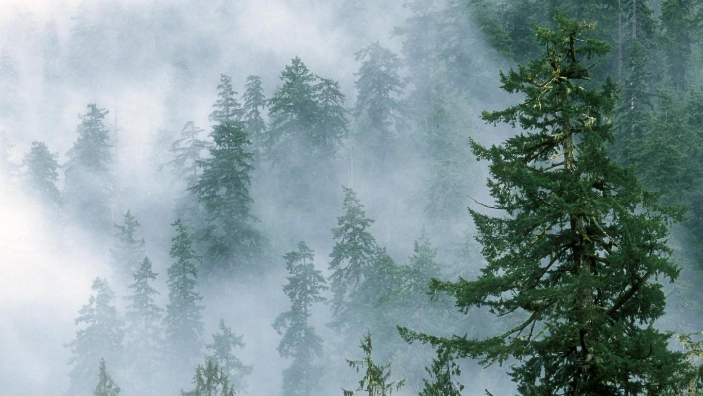 Foggy fir forest wallpaper 12834 1365x768