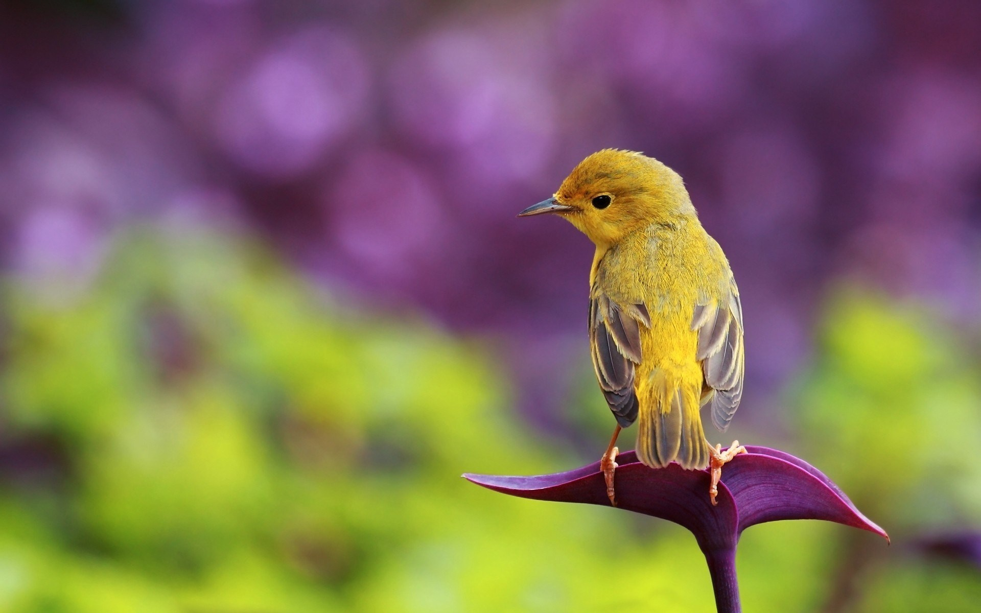 Flower Bird Yellow HD Wallpaper   FreeWallsUp 1920x1200