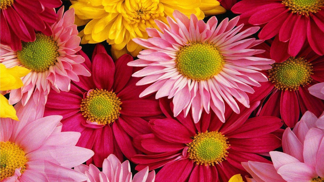 Pink Gerbera Daisy Wallpaper Pink Gerbera Flower Wallpaper 1366x768