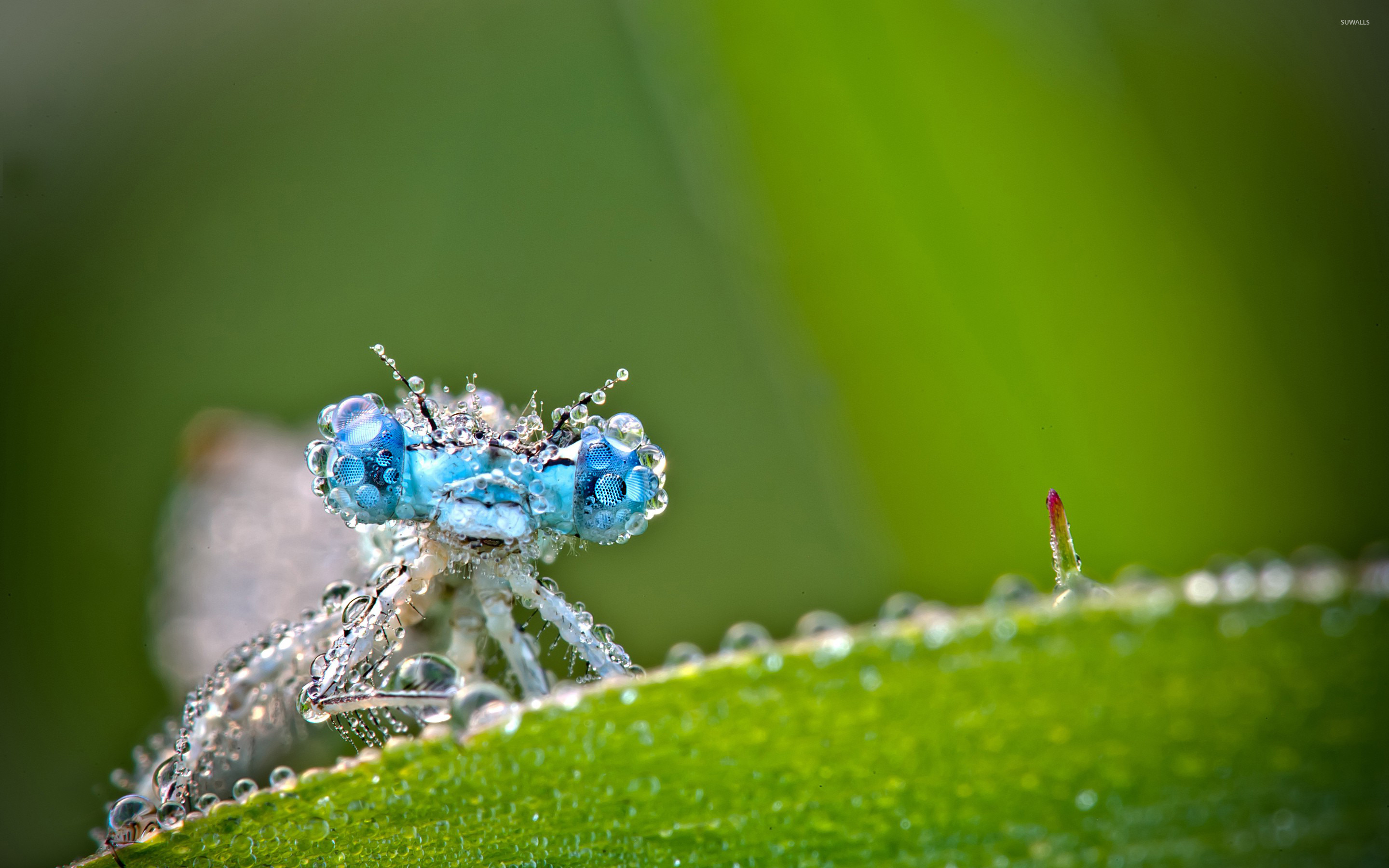 Dragonfly wallpaper   Animal wallpapers   16249 1366x768