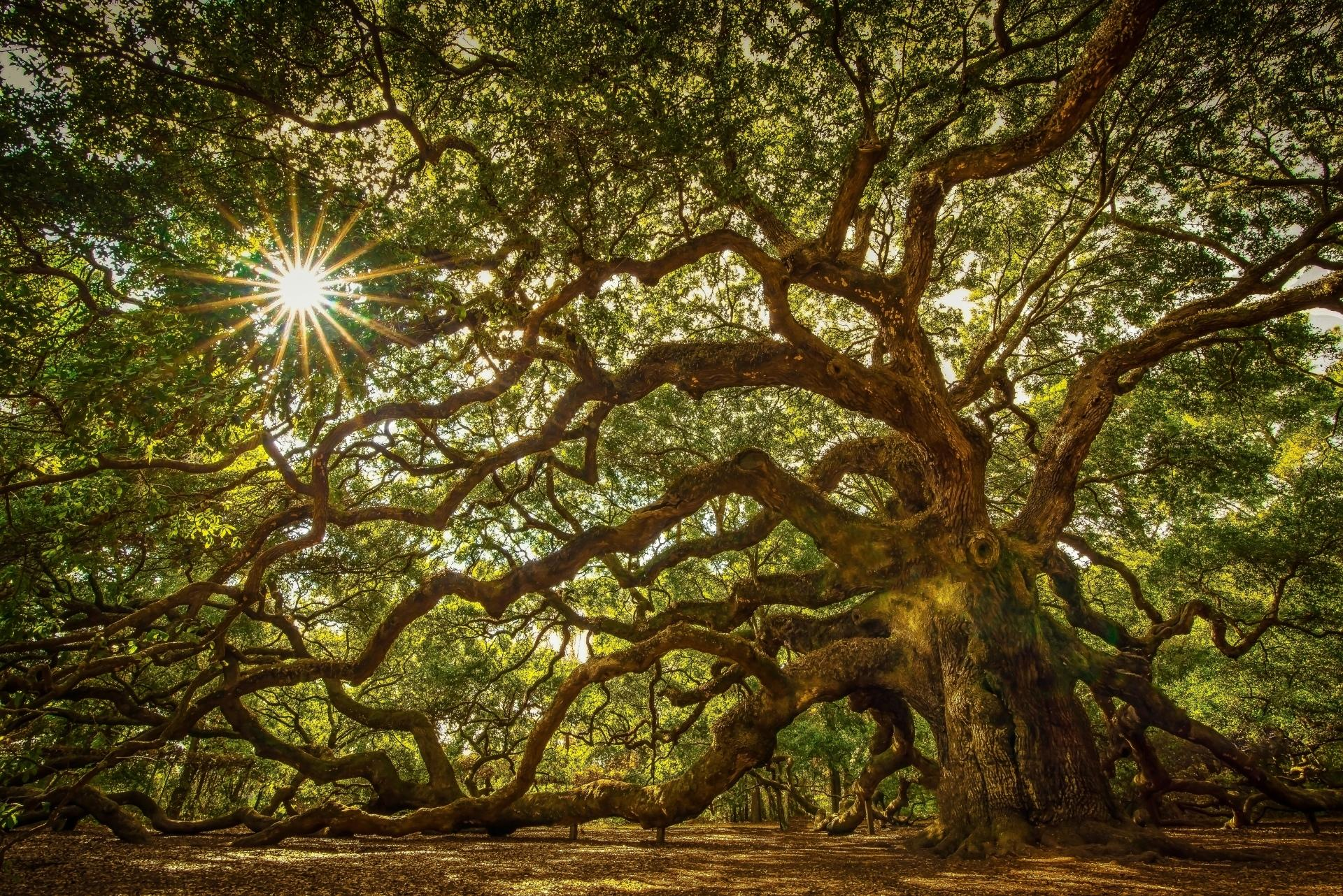 Angel Oak Tree Wallpapers HD Download 1920x1282