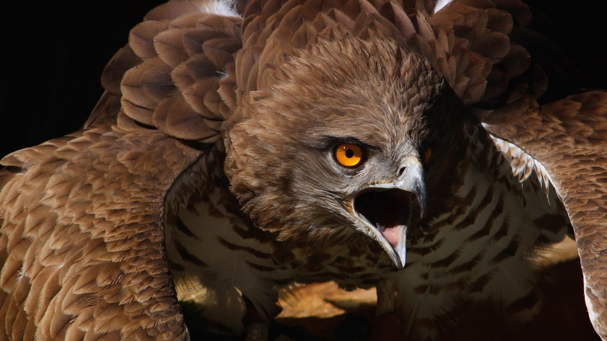 Free Download Fond Ecran Hd Animaux Oiseau De Proie Aigle