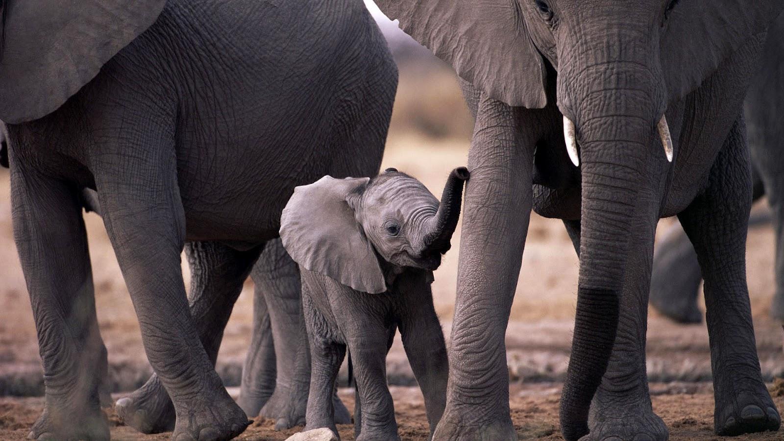 Baby elephant wallpaper 1600x900